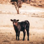 Calf in the paddock at Willow View Pastoral