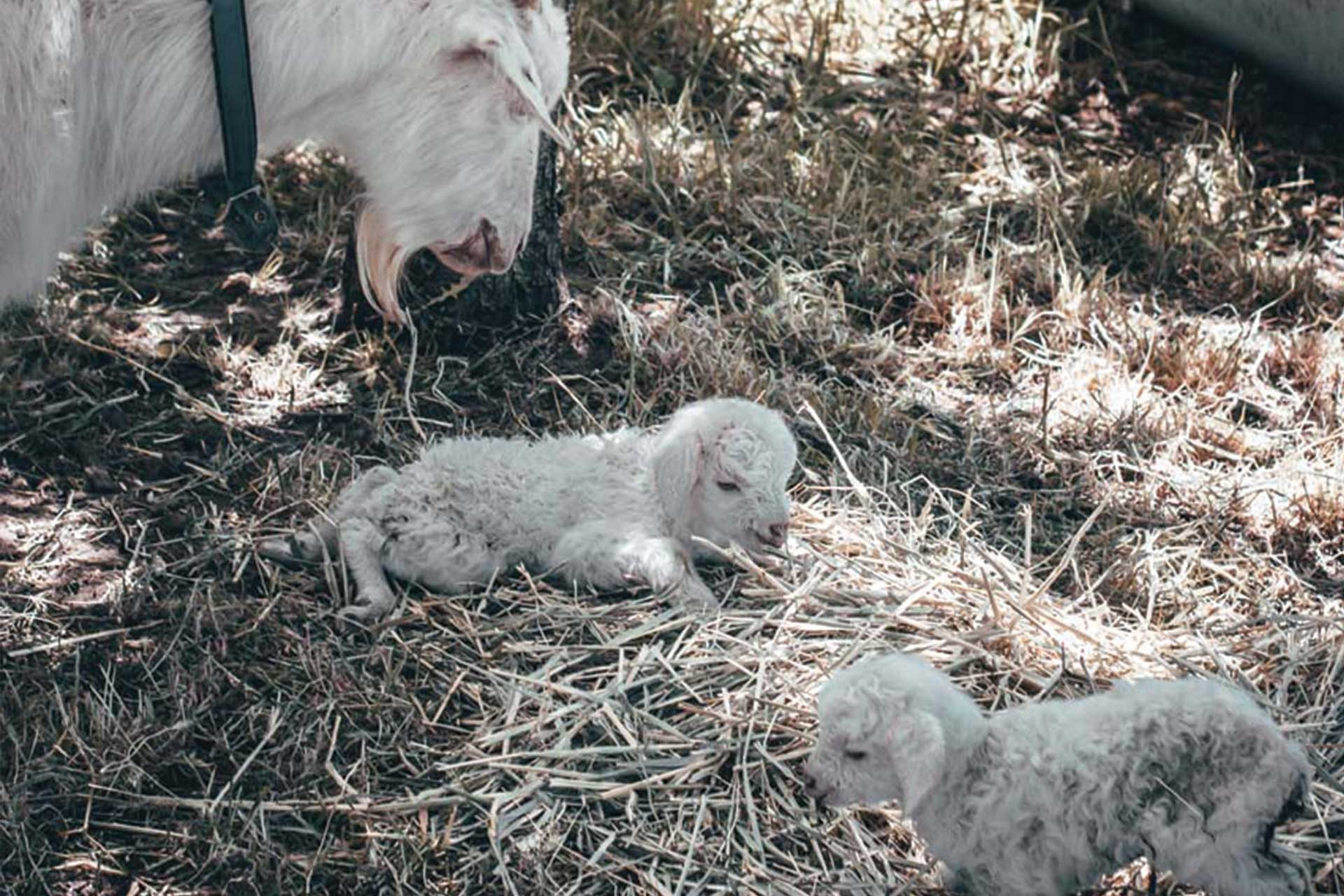 Mother Goat And Her Two Kids